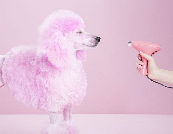 mini poodle getting pampered in dog grooming